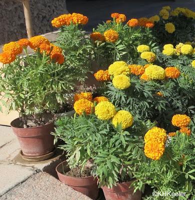 Aztec marigold, Tagetes erecta