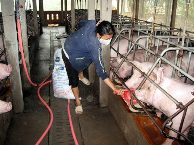 Các trại chăn nuôi thường trộn thuốc kháng sinh vào thức ăn cho heo ăn để phòng ngừa bệnh trong giai đoạn heo từ 20kg đến 50kg
