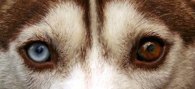 Copper Siberian Husky Odd Eye