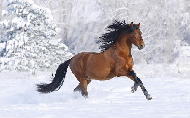 Bruin paard in de sneeuw in gallop