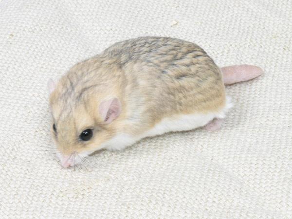 bán chuột kiểng Hamster