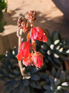 echeveria bloom