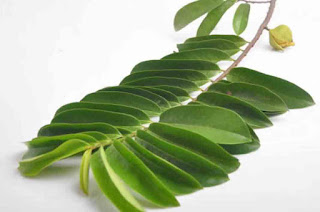 Benefits of Soursop leaves for health and uric acid