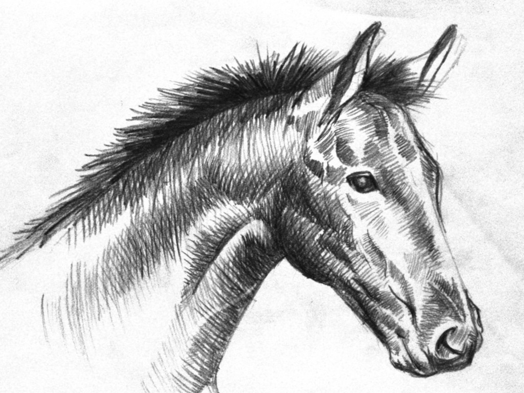 Animals Wallpapers: black and white horse drawings