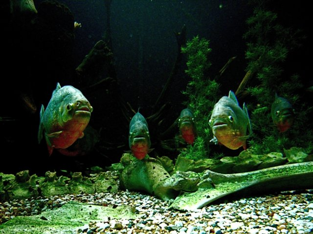 Kumpulan Ikan 2000: Piranha