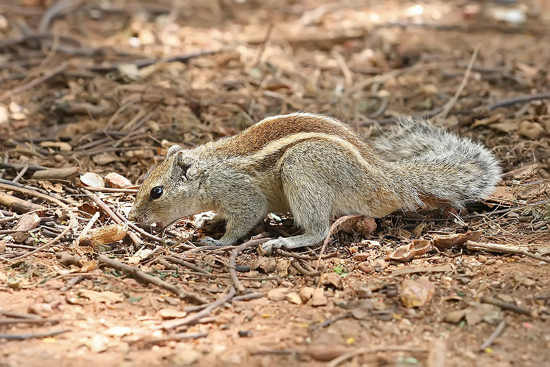 Mammals Animals: Indian Palm Squirrel Bangalore