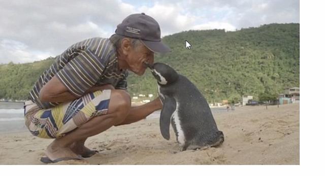 Seekor Penguin Berenang 8 Ribu Km Tiap Tahun , Pingin ketemu Kakek ini