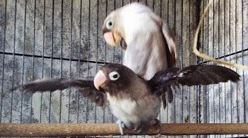 Sekilas tentang Breeding Lovebird