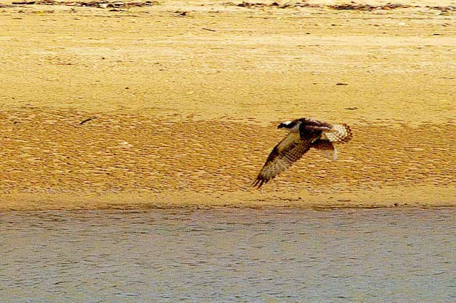 Osprey takes off with fish