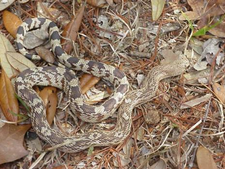 Floridas Non Poisonous Snakes Phillips Natural World