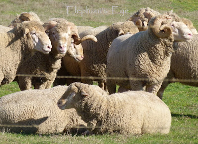 Sheep in the Riebeeck valley