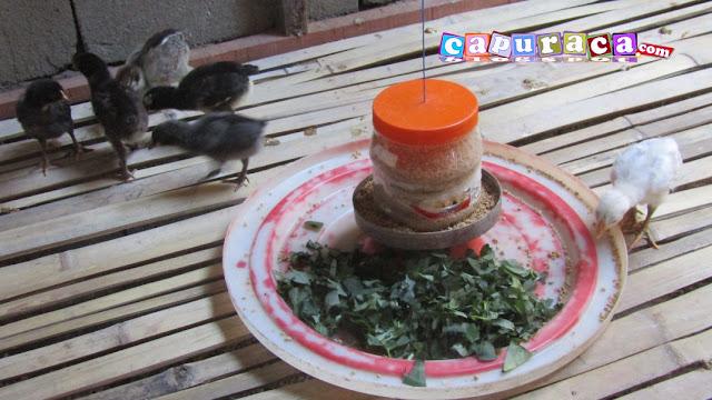 AYam KAmpung SUper di beri makan kangkung
