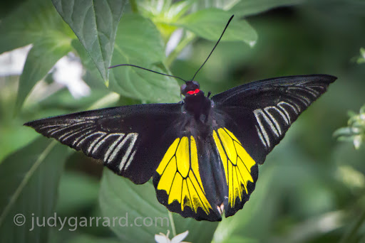 Black and yellow butterfly with pointed wings at Butterfly Wonderland