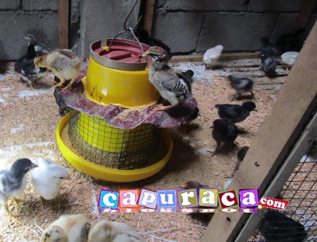 tempat pakan ayam capuraca