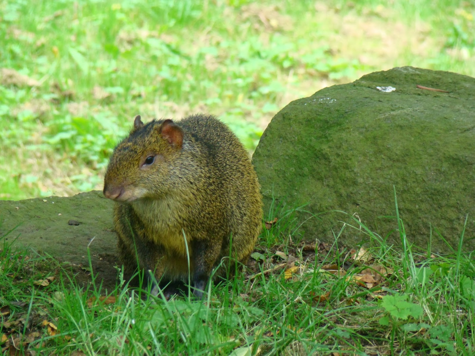 Agouti Animals | Amazing Facts & Latest Pictures | The ...