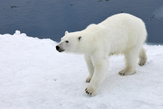Top 75  Polar Bear HD Wallpapers | Backgrounds Images Picture Free Download
