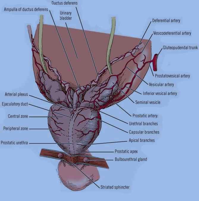 Human reproductive system Human reproductive system organ system by which humans reproduce and bear live offspring