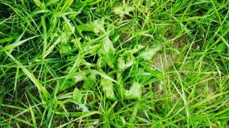 Niechciane chwasty na trawniku