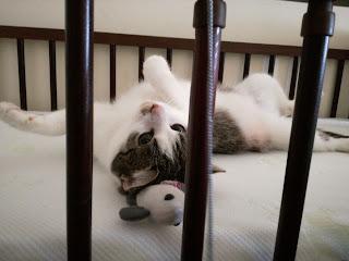 toksoplazmoza, kot ciąża
