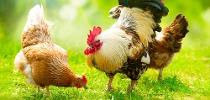 Multi-drug resistant bacteria proliferating through poultry desecrate
