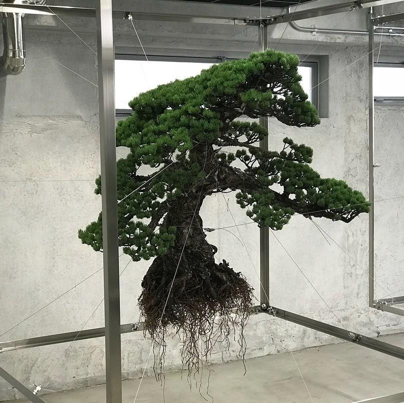 """Un arbre tipus """"bonsai"""" subjectat a l'aire, amb les arrels sense terra incloses, amb cables fins."""