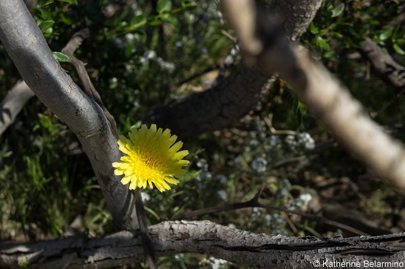 Desert Dandelion Southern California Anza-Borrego Desert Wildflowers