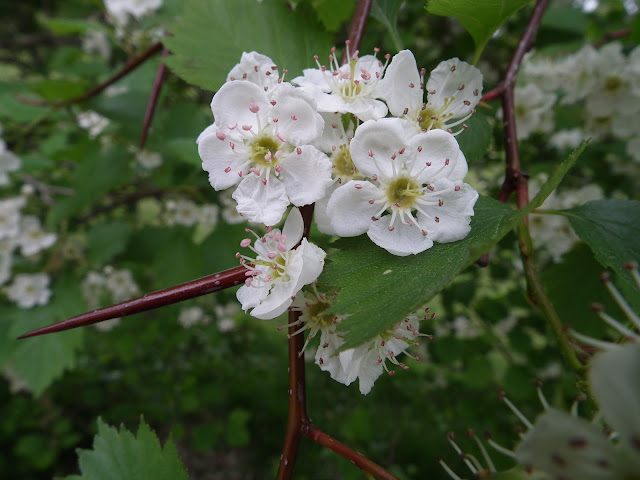 orapihlaja, piikit, kukka, orapihlajan kukka, makro