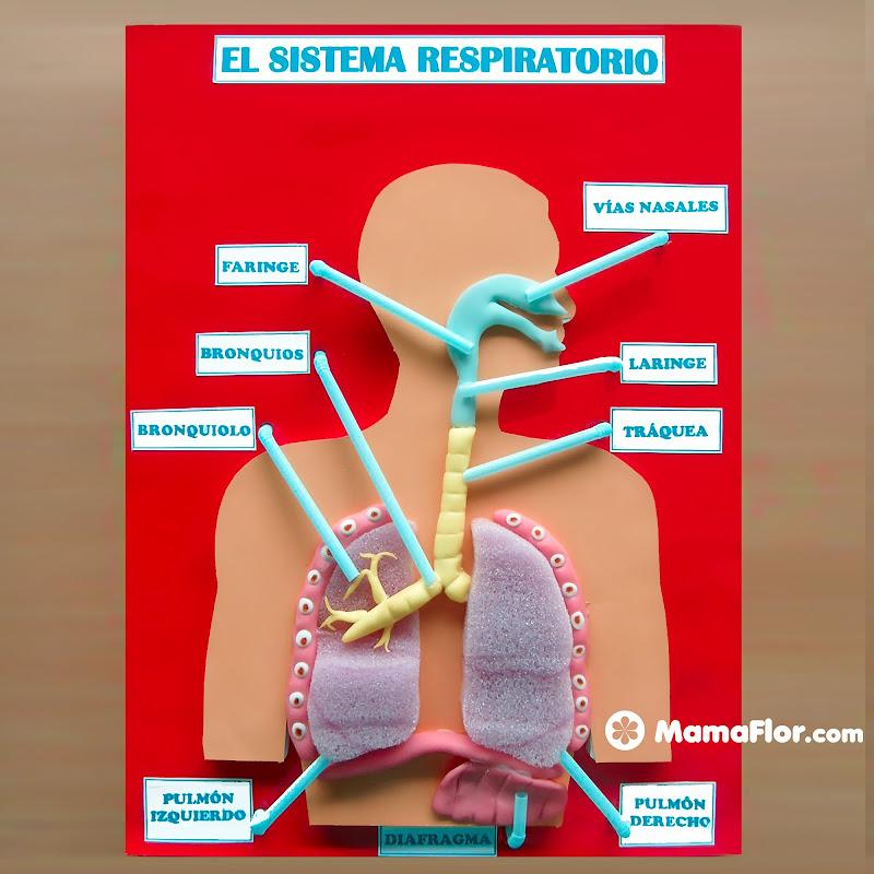 Maquetas del Sistema Respiratorio (DIY)