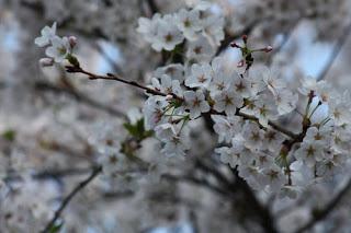 Sakura Hanami.