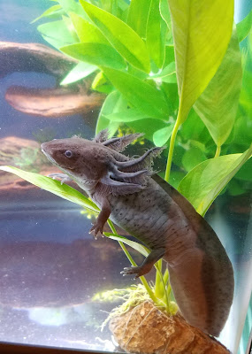 Axolotl sitting on an anubias congensis