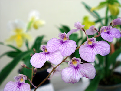 Ionopsis utricularioides care and culture
