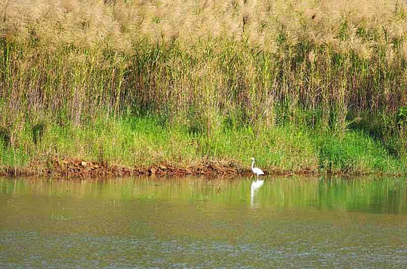white egret,bird,Kin Dam, pampas grass