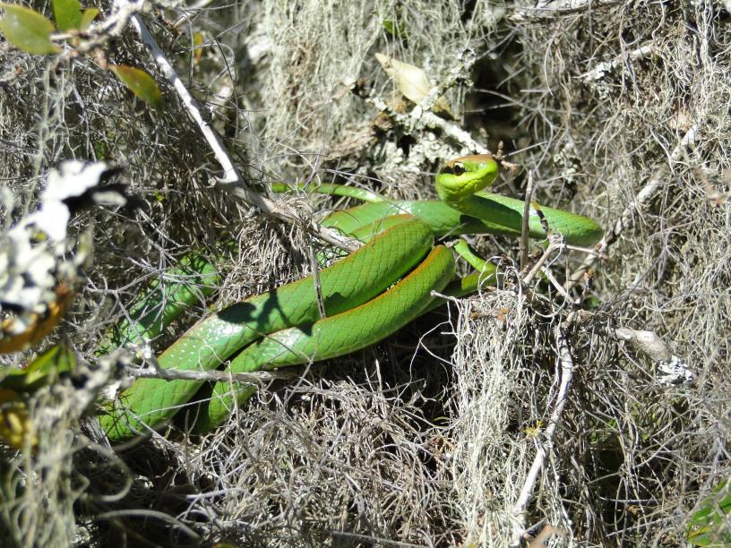 Cobra-Cipó (Philodryas olfersii)