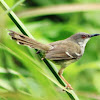 MP3 Suara Burung Ciblek Gunung Gacor