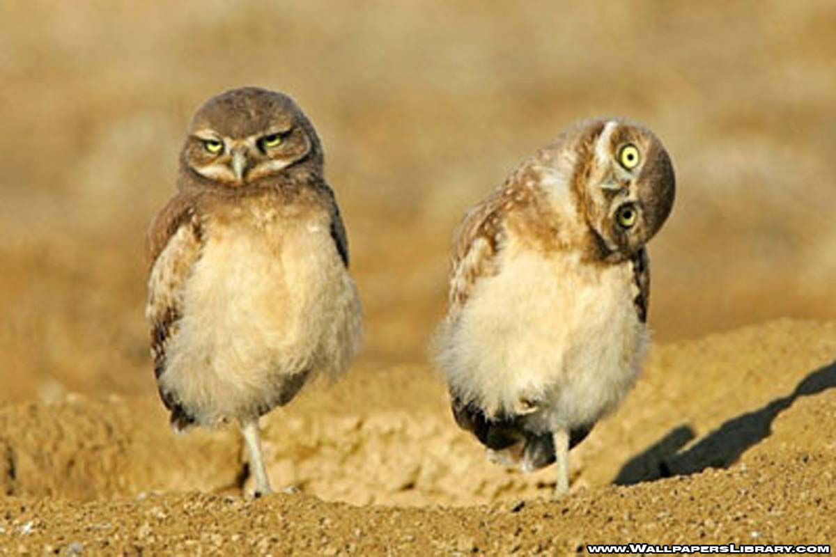 funny birds wallpaper desktop |funny animal