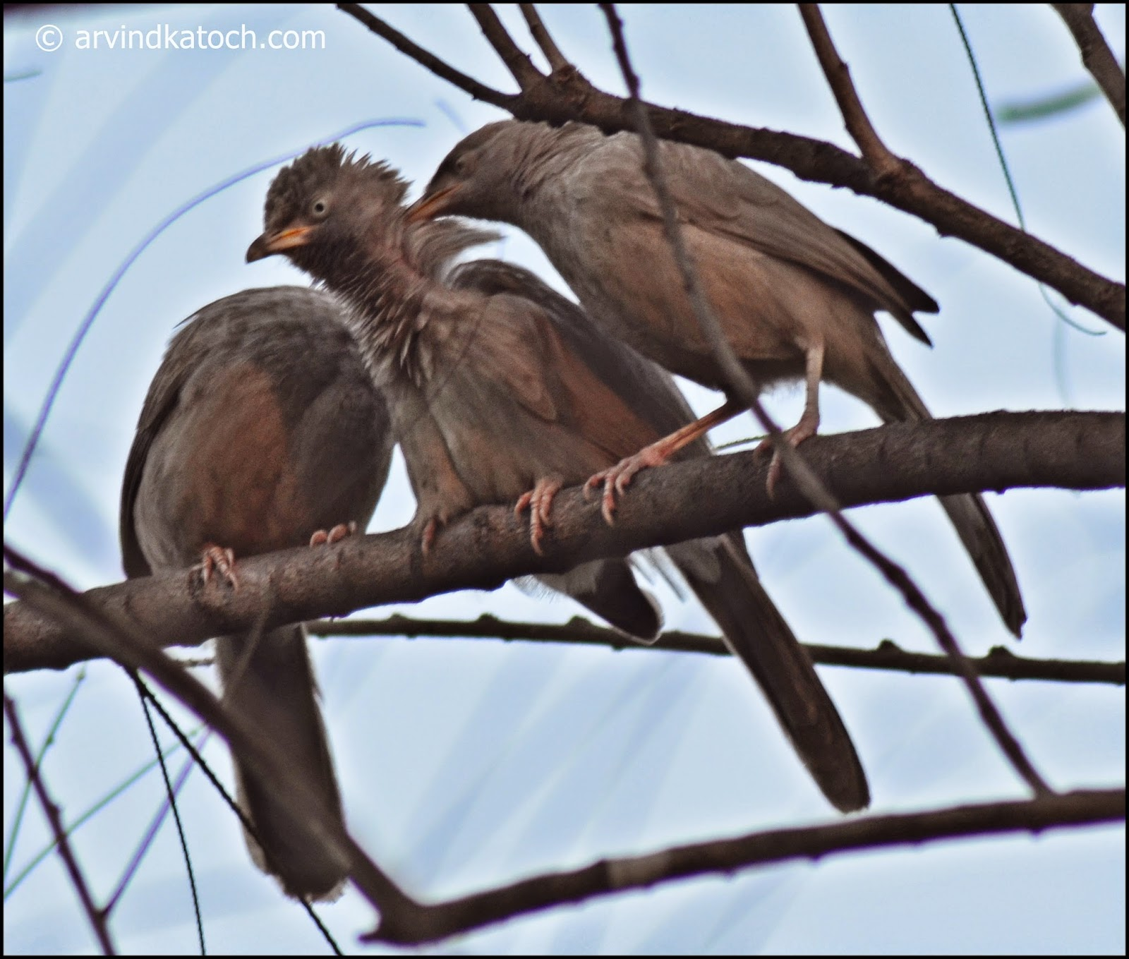 Jungle babbler, baby, Kid