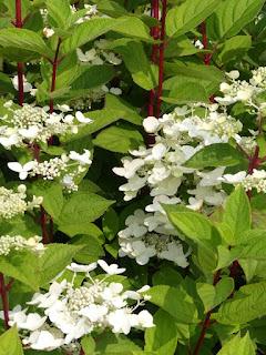 Hortensia paniculé - Hydrangea paniculata - Hydrangée paniculée
