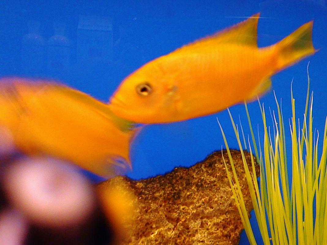 Petco Goldfish | Pics | Download |