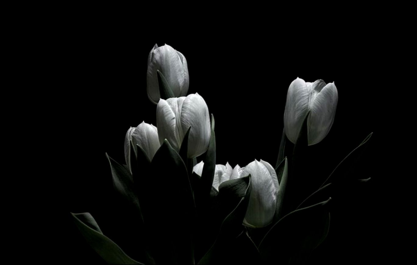 Black Background Tulip Flower Wallpaper Hd