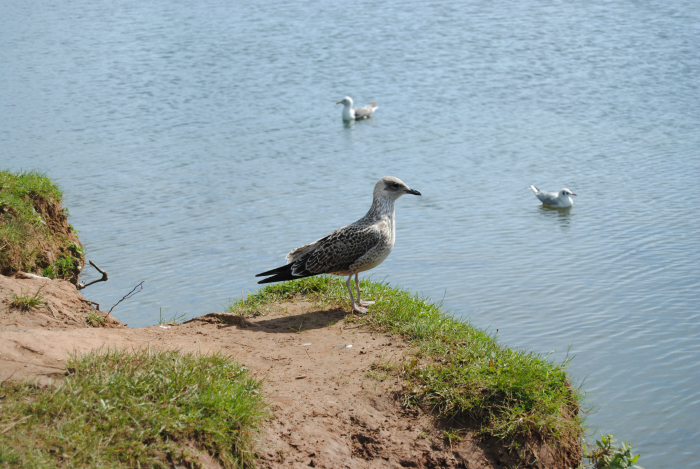 Young seagull at Cosmeston Lakes