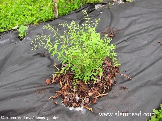 спанбонд, агроволокно, агротекс, агропленка, лутрасил, черный нетканный материал, черная мульча, алёнин сад, спирея