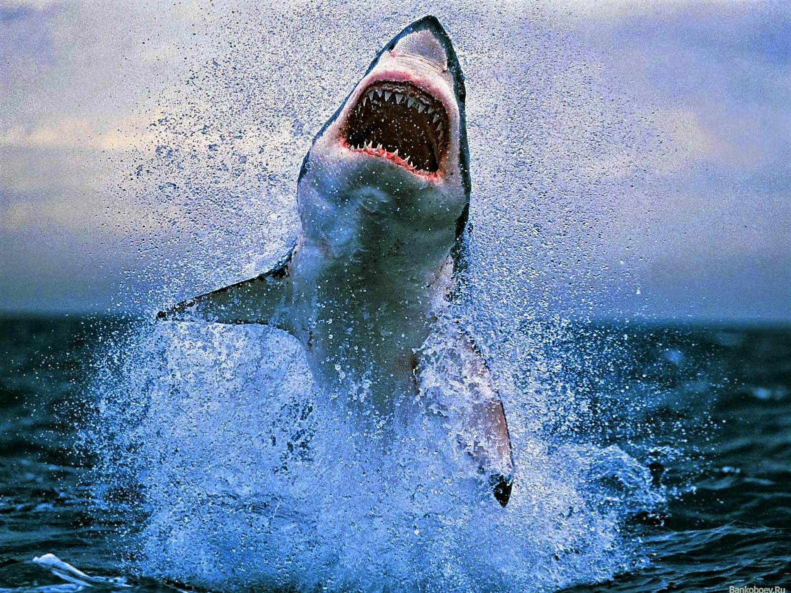 Fieggentrio: Witte haai.