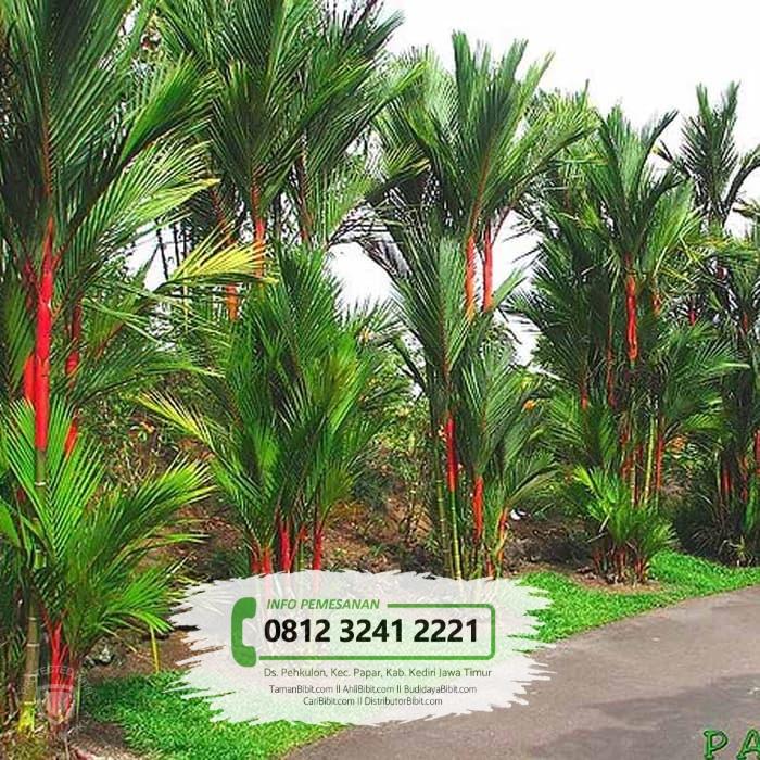 Jual Bibit & Benih Biji Pohon Palem Merah