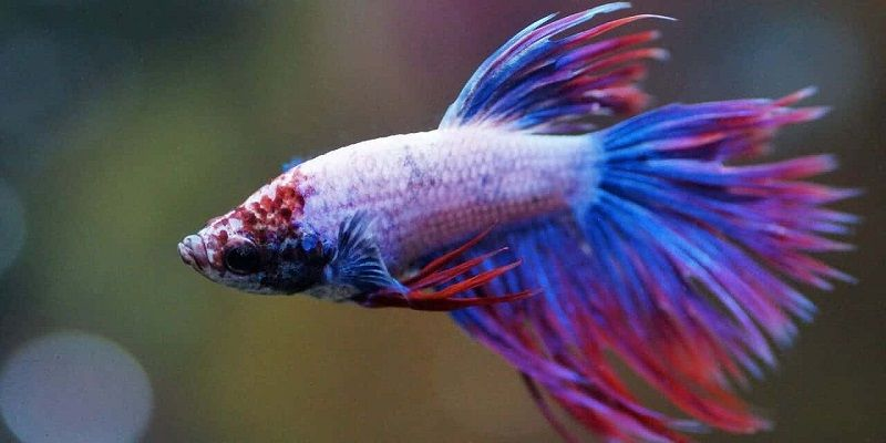 Image The Pain of How Long Can a Betta Fish Live in a Fishbowl