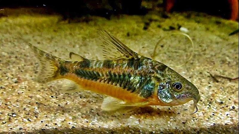 Pemijahan Ikan Hias Corydoras Paleatus | Akuarium Ikan Hias