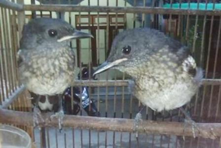 Zona Tips Indonesia Cara Mudah Membedakan Jenis Kelamin Anakan Burung Kacer Poci