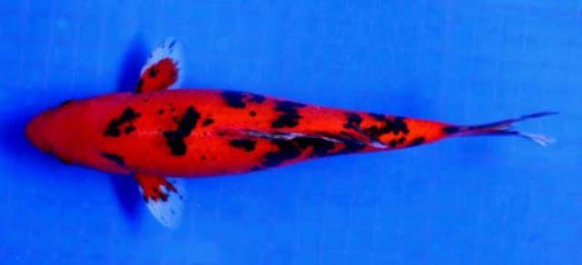 Dunia Ikan Hias - KOI AKA BEKKO