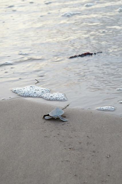 Guyane, tortue marine, luth, verte, observer les tortues, ponte