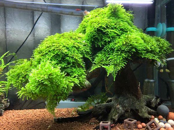 rêu thủy sinh cần nước mát mới phát triển tốt