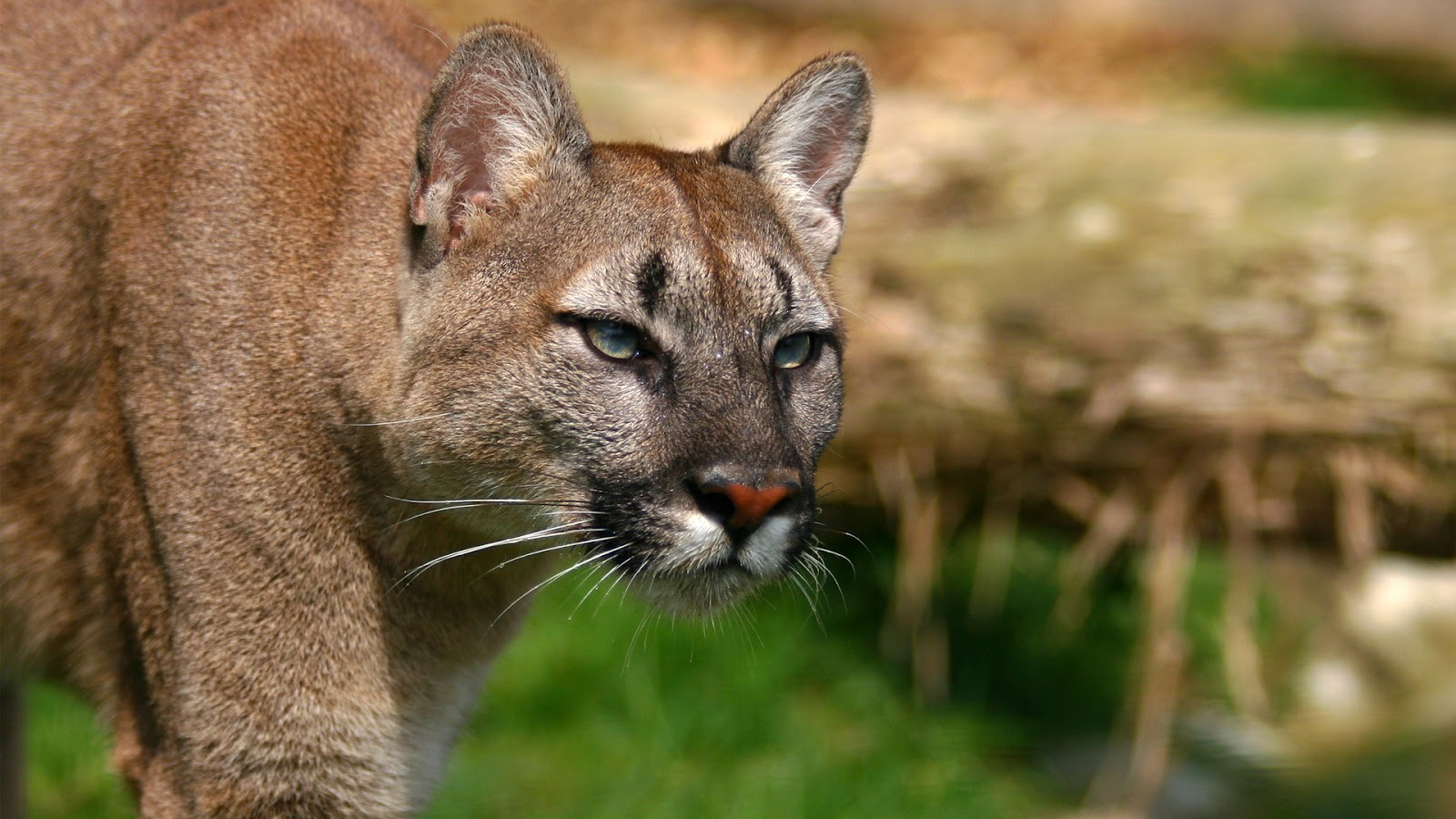Mountain Lion - Cougar HD Wallpapers